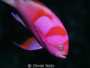 Neon Fairy Basslet - Pseudanthias Pleurotaenia 